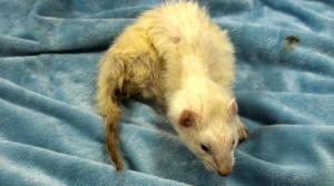 sick ferret