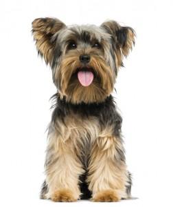 dog-yorkie