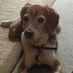 Buddy the beagle