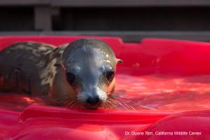 Sea lion pup by Dr. Duane Tom
