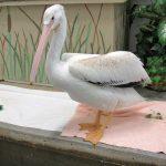 american white pelican in pen