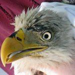 close up of bald eagle beak