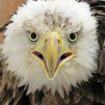 face of bald eagle