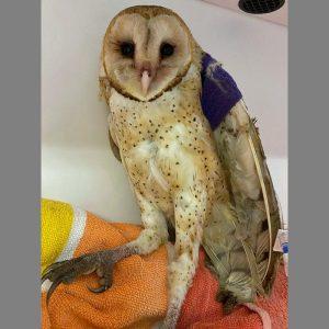 barn owl standing on towel