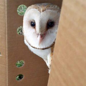 barn owl peeking out of cardboard box