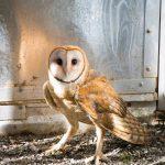 barn owl looking