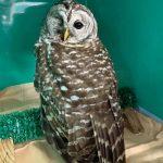 barred owl with eye injury