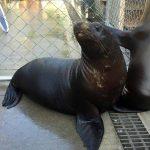 California sea lion pup in a pen