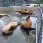 California sea lions in pen