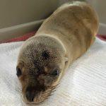 California sea lion pup on towel