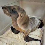 Califorina sea lion in pen