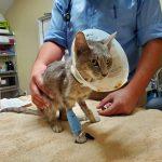 cat wearing ecollar at vet