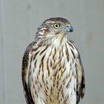 Cooper's Hawk on perch