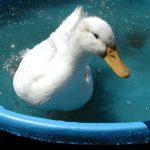 duck kiddie pool Joe Roberts