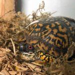 eastern box turtle peeking out of shell