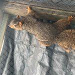fox squirrel in cage