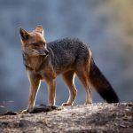 gray fox in the wild