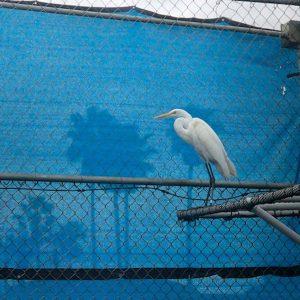 great egret on perch in pen