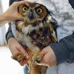 great horned owl held in hands