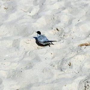 least tern on sand