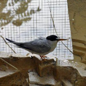 least tern standing on rock