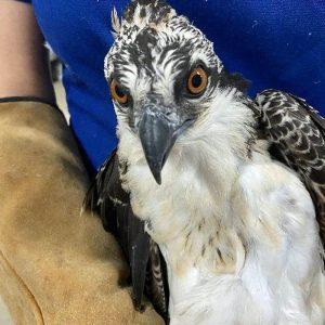 osprey held in gloved hands