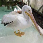 american white pelican standing inside