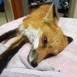 red fox lying on towel