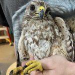 red-shouldered-hawk held in hands