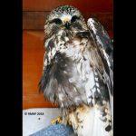 rough-legged hawk in cage