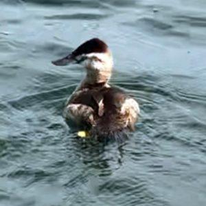 ruddy duck release