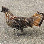 ruffed grouse walking on pavement