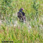 turkey vulture in field