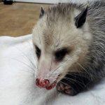 Virginia opossum with injury to face