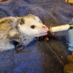 Vrginia opossum being syringe-fed