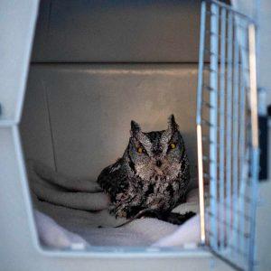 Western Screech Owl in carrier